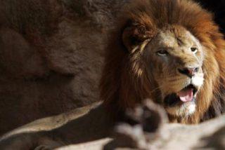 León ataca a su cuidador en un zoológico ante los aterrorizados ojos de los visitantes