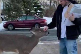 El ciervo que va por la calle pidiendo caricias: el suceso viral del momento
