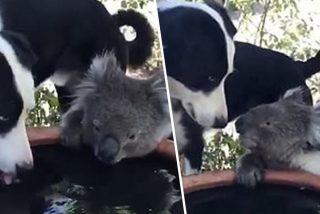 Incendios en Australia: La amistad entre un koala sediento y un perro generoso