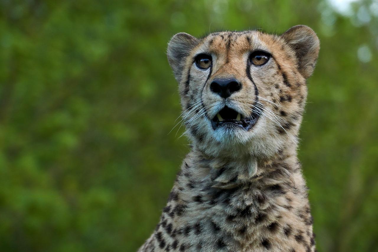 El guepardo 'besa' a una cría de gacela recién nacida al confundirla con su cachorro, pero se da cuenta del error y se la merienda al instante