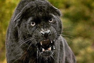 Selfie suicida: la mujer quería tomarse una foto y el jaguar le destroza el brazo