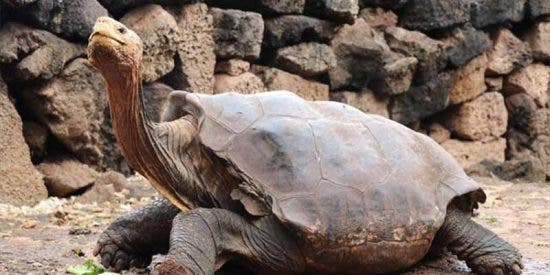 """Le llaman """"Julio Iglesias"""": una tortuga semental salva a su especie de la extinción con más de 800 hijos"""