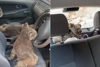 Australia: convierten un coche en una ambulancia improvisada para salvar Koalas