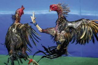 Un gallo de pelea mata a picotazos y golpes de espolón a su dueño cuando lo llevaba a un combate animal
