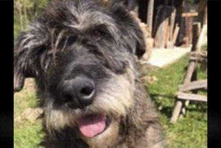 Muere un perro tras pasar 4 días sufriendo porque unos facinerosos le introdujeron un petardo encendido en el ano