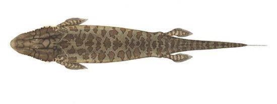 'Tiktaalik roseae' : Así era el pez que salió del mar y caminó sobre la Tierra por primera vez