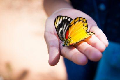 La mariposa macho elimina a sus rivales apestándoles con una sustancia genital