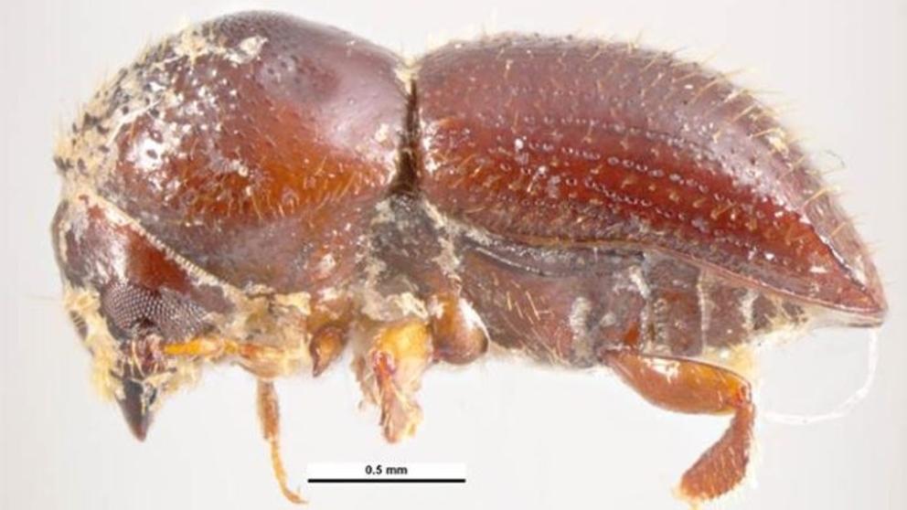 Un escarabajo extranjero invade España y devora sus algarrobos