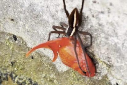 Superpoderes animales: Esta araña 'roba' de un estanque un pez dorado que pesa el doble que ella