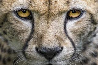 """Este guepardo """"besa"""" a una cría de gacela recién nacida al confundirla con su cachorro, pero se da cuenta del error y se la merienda al instante"""