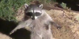 El hilarante vídeo de dos mapaches que fingen ser estatuas al ser descubiertos en un jardín