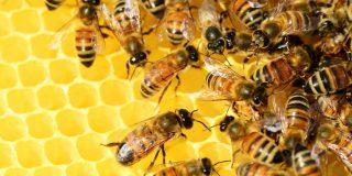 ¿Por qué la humanidad no puede vivir sin las abejas?