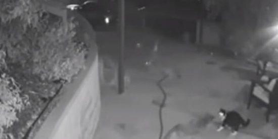 Un gato vence a tres coyotes en una salvaje pelea cuerpo a cuerpo
