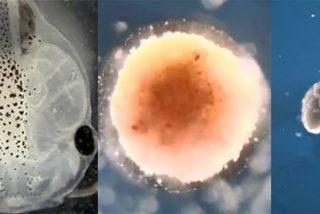 Conoce a los xenobots: Los primeros robots vivientes de la historia a partir de células madre de rana
