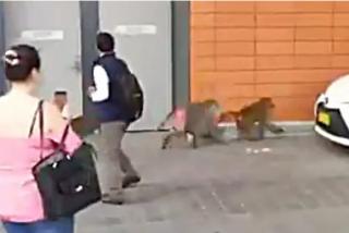 Australia: un mono crea un caos tras escapar del centro médico donde le harían una vasectomía