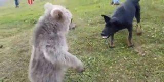 El osezno se topa con un perro en la montaña y pasa lo imposible
