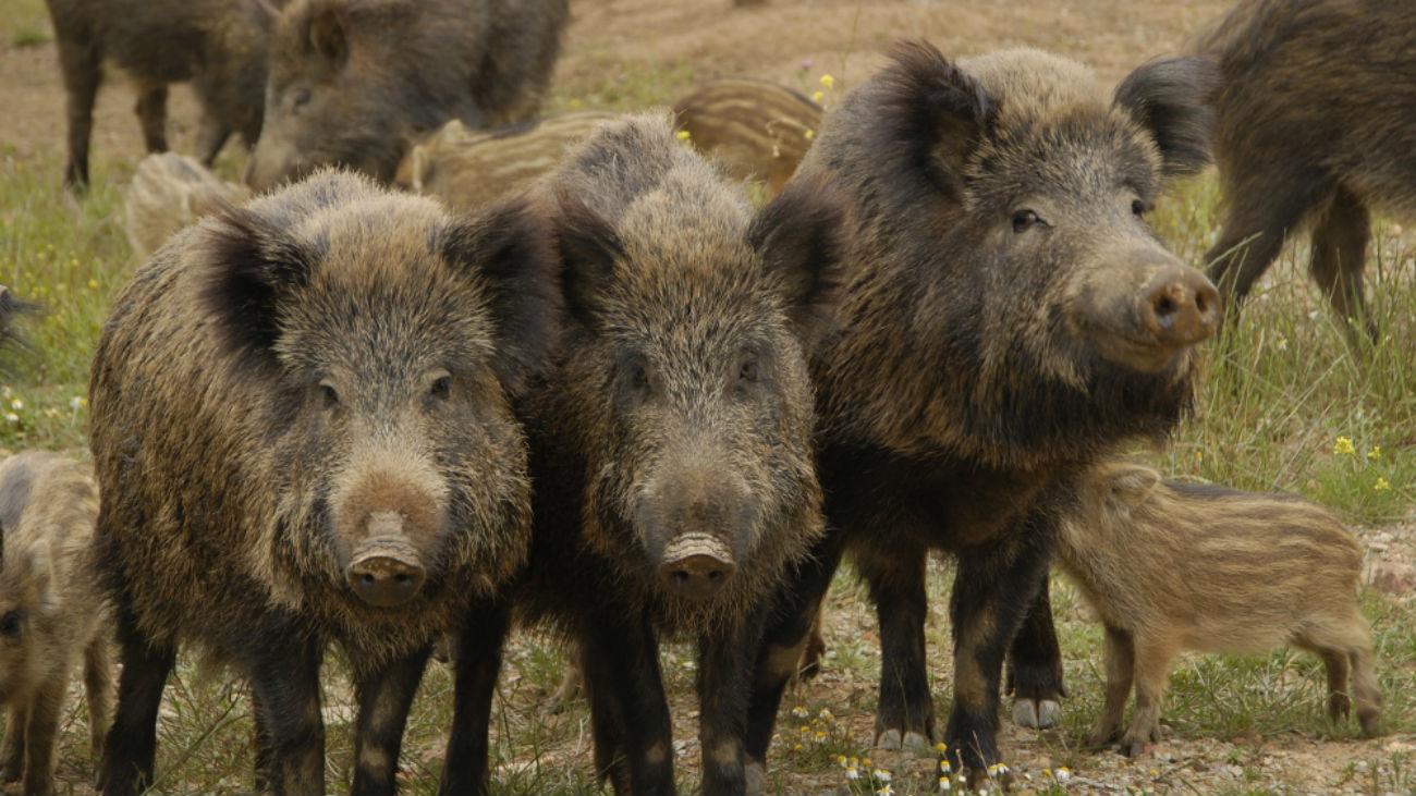https://www.periodistadigital.com/wp-content/uploads/2020/02/Jabalies-y-cerdos-salvajes.jpg