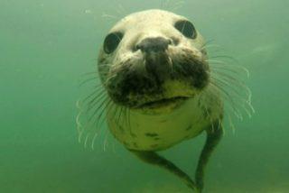 Esta foca salvaje aplaude bajo el agua y deja turulatos a los científicos