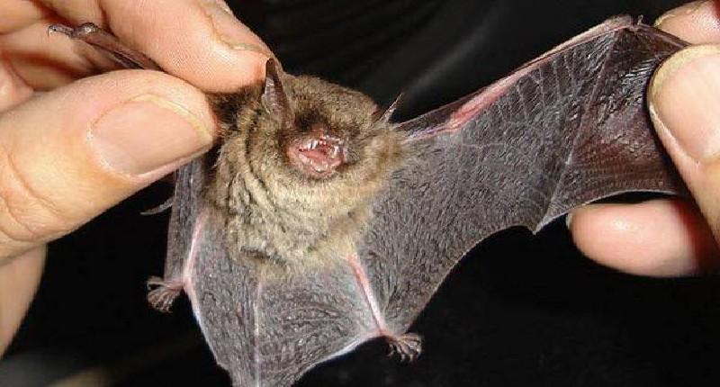 Coronavirus: por qué los murciélagos, la 'bestia negra' de la peste china, transmiten tantos virus