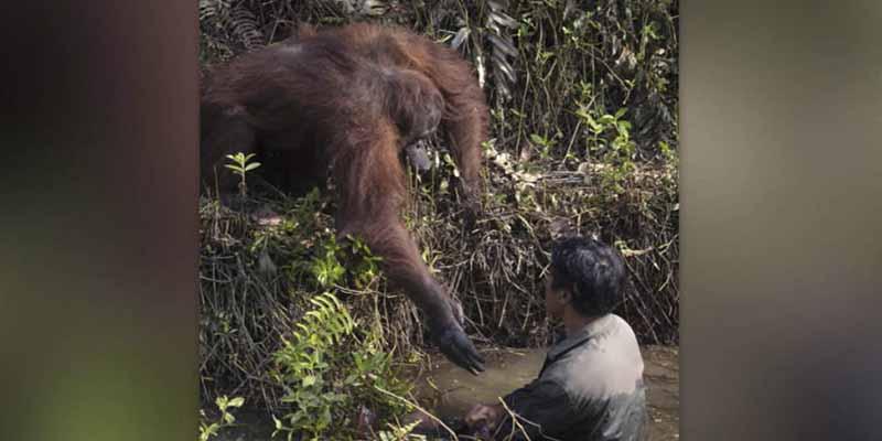 Insólito y conmovedor: un orangután intenta rescatar a un hombre al que veía hundirse en un río fangoso
