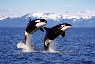 Una pareja de orcas acosa a un gran tiburón blanco antes de atacar