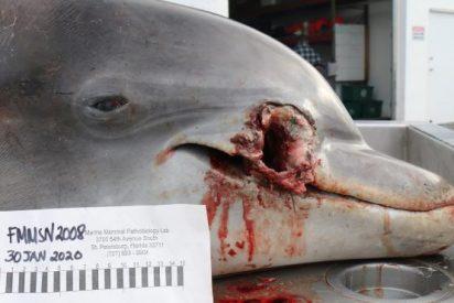 'Fusilan' a dos delfines con grotescos impactos de bala en su cara