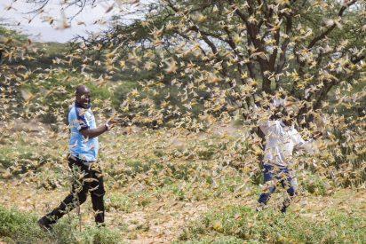 La bestial plaga de langostas ya 'engulló' a una docena de países de África y Asia