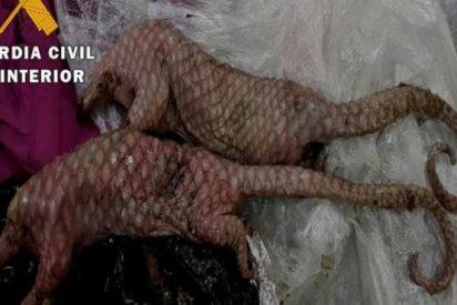 Almería: pillan a una mujer con dos pangolines muertos en su maleta, el 'animal del coronavirus'