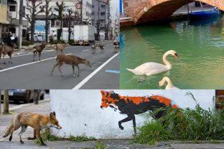 La vida salvaje reclama su territorio en las ciudades desiertas: la pata con sus patitos por la acera