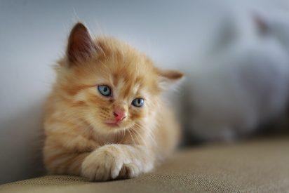 El éxito del gato bailarín: mueve su cabeza al ritmo de la música y despierta el asombro de todos