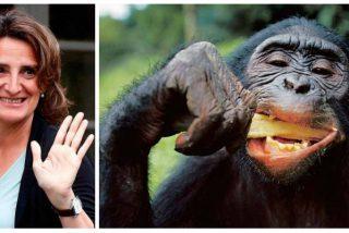 Las 'prioridades' de la socialista Teresa Ribera: 3.500 muertos por coronavirus y la ministra preocupada por los contagios de los chimpancés