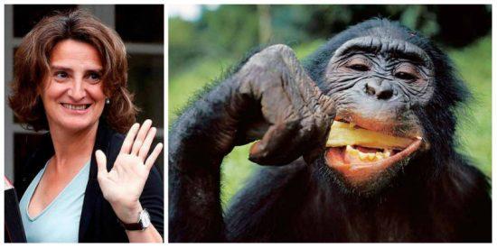 Las 'prioridades' de la socialista Teresa Ribera: con 3.500 españoles muertos por coronavirus a la ministra le preocupaba el contagio de los gorilas