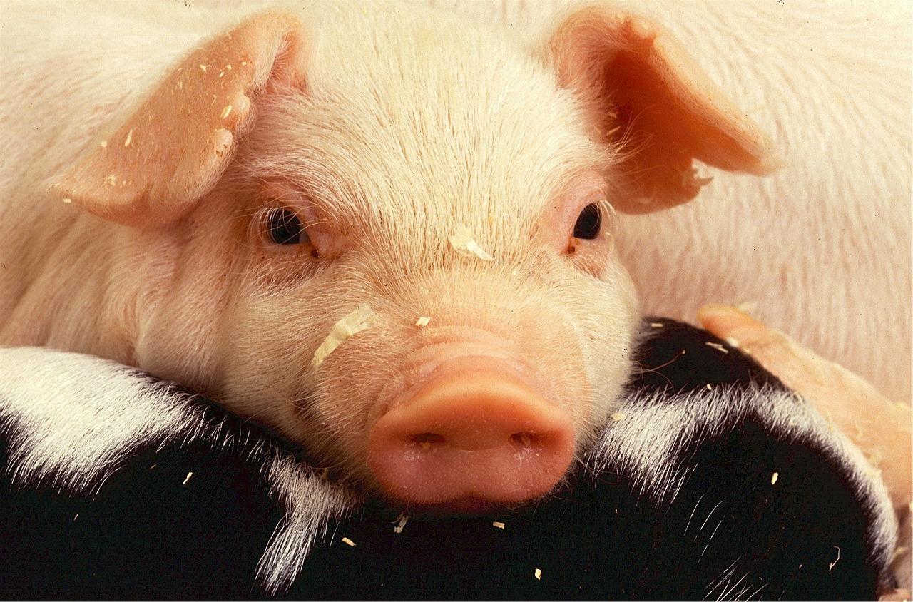 Chiste: el del cerdo de los huevos de oro y la pata de palo