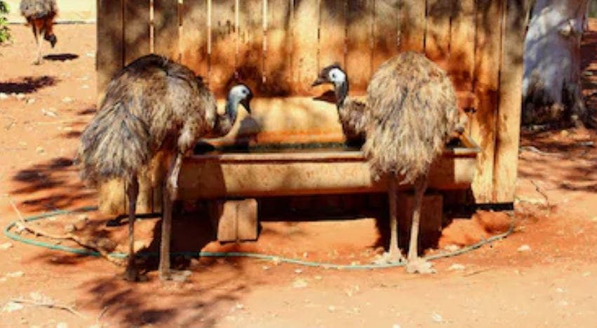 Beneficios del aceite de emú