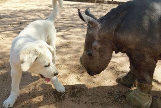 El perro se topa con el rinoceronte bebé y ocurre lo impensable