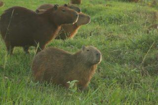 El roedor más grande del mundo también aprovecha la cuarentena y se apodera de un club de golf en Bolivia