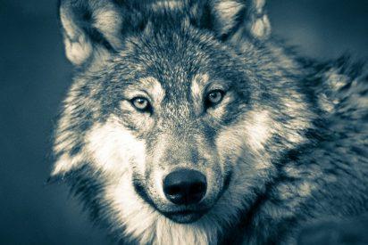 Lobo gris reaparece en Francia por primera vez en más de un siglotras ser considerado extinguido