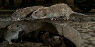 Plagas de roedores: ¿Son más o ahora se dejan ver? Por qué el coronavirus está cambiando su comportamiento