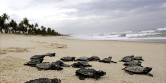 Gracias a la cuarentena, nacen cerca de 100 tortugas marinas en peligro de extinción en Brasil