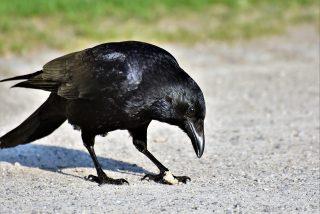 El cuervo 'ayuda' al erizo a cruzar la carretera