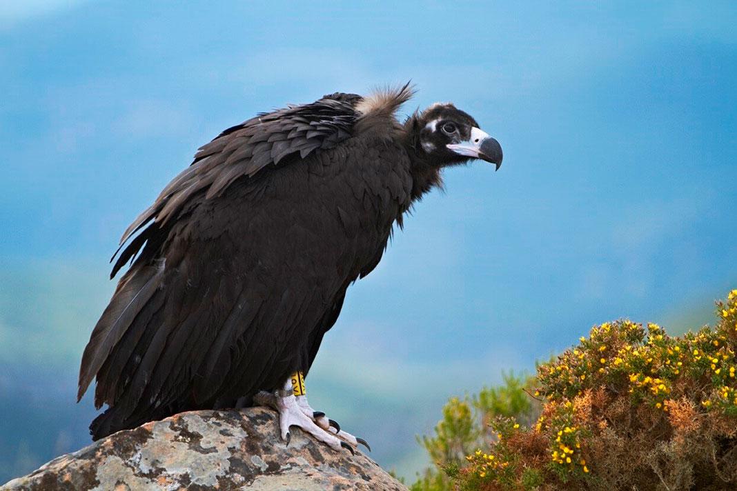 Nacen en España dos buitres negros a los 50 años de la extinción de esta ave en nuestro país