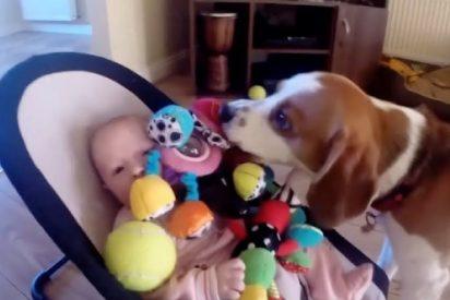 El perro roba un juguete a la bebé y al verla llorar, compungido por el sentido de culpa, devuelve la 'mercancia'