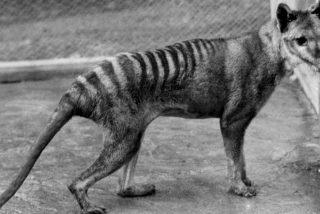 Ultimo Testigo: Este es 'Benjamín', un tigre de Tasmania, paseando antes de que se extinguiese la especie