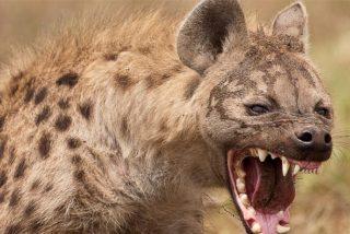 La hiena traidora roba al despiste un impala a la enorme pitón