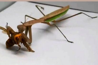 Una mantis religiosa destroza a la 'avispa asesina' que atemoriza a EEUU: la mata en segundos y devora su cara