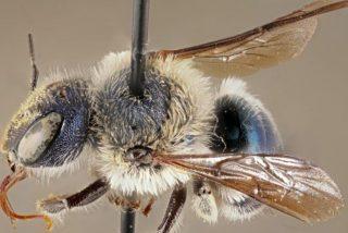 Revive la 'abeja azul', la especie extremadamente rara que se creía extinta