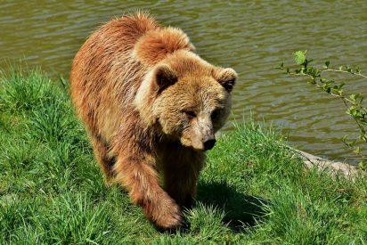 ¡Inaudito! El niño escapa tranquilamente del gigantesco oso