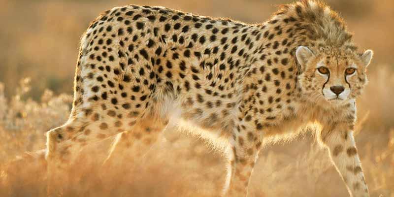 Este es el alucinante nuevo robot guepardo: puede correr tres veces mas rápido