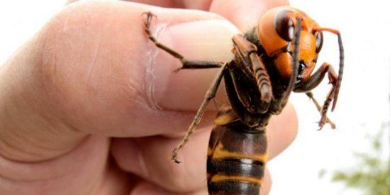 EEUU, en alerta por la llegada de un insecto 'asesino' y exótico