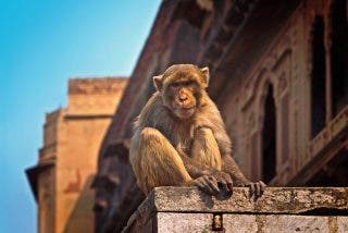 Monos roban muestras de sangre de coronavirus en India